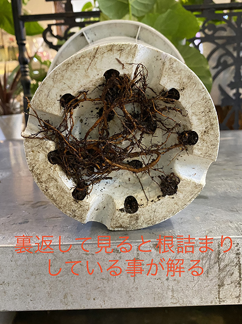 植え替え前 鉢から飛び出す根